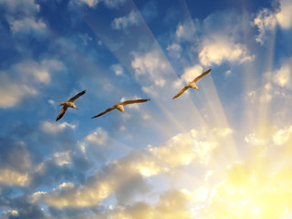Three seagulls flying into the rays of setting sun