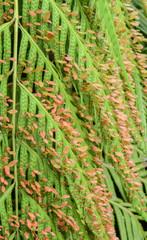 fern accessory bud