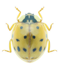 Beetle Harmonia axyridis
