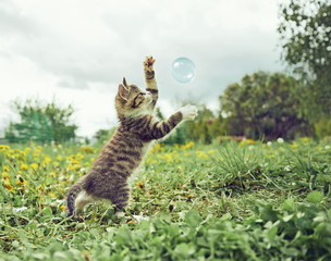Kitten is playing with soap bubble