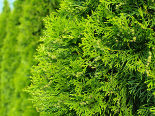 Green Hedge of Thuja Trees