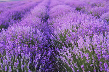Photo sur Plexiglas Lavande Flowers in the lavender fields.