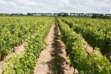 Wall Mural - rang de vignes dans le sud de la france à Bordeaux