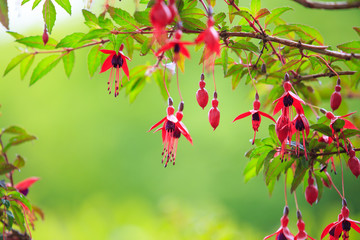 Red Flowers, fuchsia isolated against green