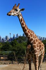 Sad-looking Giraffe at Taronga Zoo, Sydney