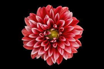 Poster de jardin Dahlia dahlia flower