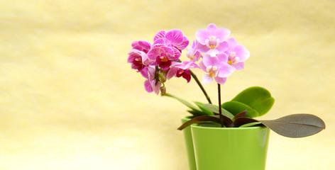 bilder und videos suchen mini orchidee. Black Bedroom Furniture Sets. Home Design Ideas
