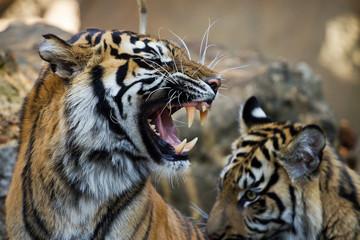 The grin of a sumatran tiger