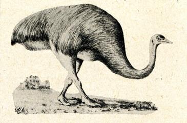Moa, flightless bird