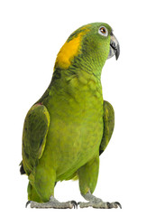 Foto op Aluminium Papegaai Yellow-naped parrot looking back (6 years old)