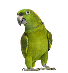 Fotobehang Papegaai Yellow-naped parrot (6 years old), isolated on white