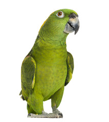 Foto op Aluminium Papegaai Yellow-naped parrot (6 years old), isolated on white