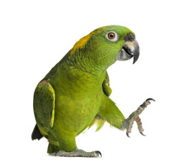 Poster Perroquets Yellow-naped parrot (6 years old), isolated on white