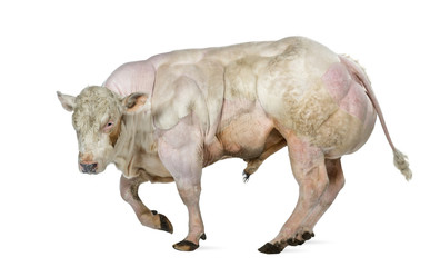 Belgian blue bull (8 months old) isolated on white Wall mural
