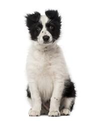 Border Collie puppy (10 weeks old)