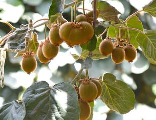 Kiwi plant.