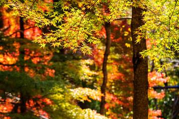 Fall Leaves at  Kyoto, Japan