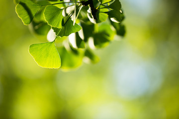 Ginkgo biloba tree branch with leafs against  green background