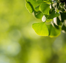 Ginkgo biloba tree branch with leafs