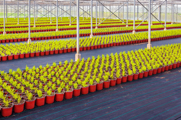 Rows of conifer sprouts in a greenhouse