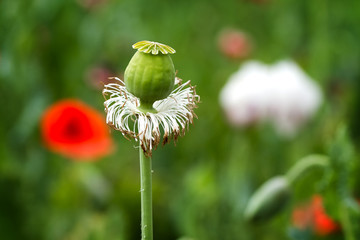 flower of field poppy