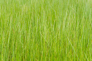 Hohes Gras (formatfüllend)