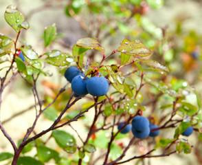 Wild blueberry bush growth in forest