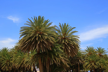 Blue sky and palm trees tops