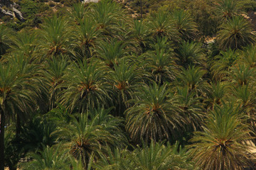 Wild green palm tree forest