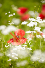 Wall Mural - Red Poppies Field, summer landscape