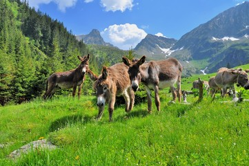 Donkeys on the high mountains