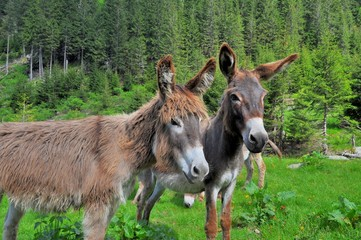 Pair of donkeys on the high mountains