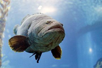 White grouper