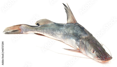 Long-whiskered catfish