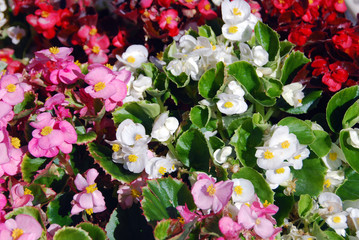 Colorful begonia semperflorens in full sun