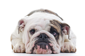 English Bulldog dog eye contact, closeup