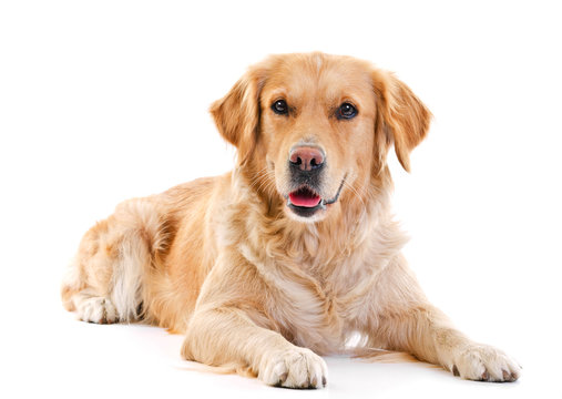Golden retriever laying over white background