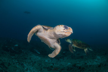 Fototapete - Two hawksbill turtles underwater