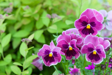 Poster Pansies Group of pansy in the garden