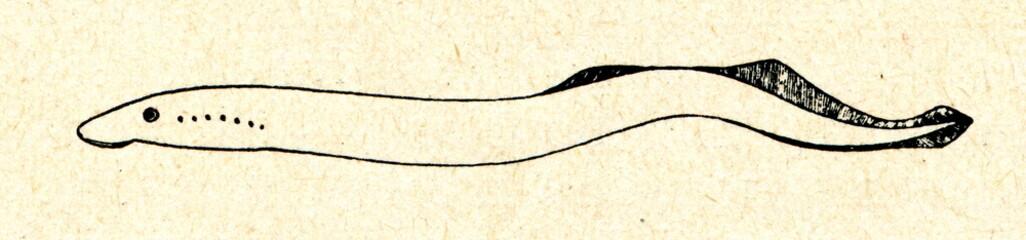 European river lamprey (Lampetra fluviatilis)