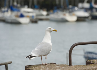 Herring gull seabird on harbour wall