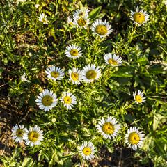 Sunshine wild daisies look down