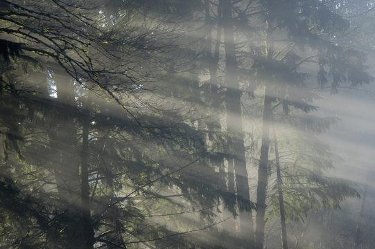 Sunbeams shining through foggy forest