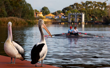 Two rowers and two pelicans, Adelaide