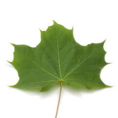 Green maple leaf on white background.
