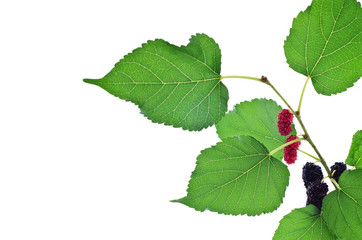 Mulberry with leaf