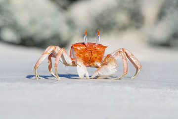 Galapagos ghost crabs