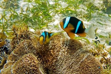 Clarks Anemonenfisch - Clownfisch