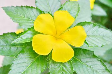 Sage rose or West indian holly flower