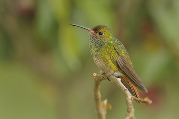Perched Rufous-tailed Hummingbird